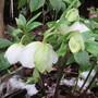 White Hellebores. (Helleborus niger (Christmas rose))
