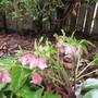 Pink Hellebores (Helleborus x hybridus)