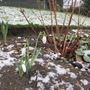 First snow, first snowdrops.. (Galanthus Galatea)