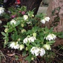 Thank goodness for hellebores