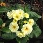 A pretty primrose.