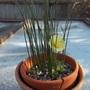 Narcissus romieuxii (Narcissus romieuxii)