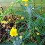 Euryops..... Golden daisy bush.. (golden daisy bush..)