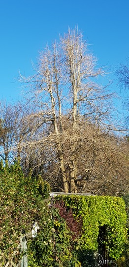 Blue sky, Ginkgo, and magpie... (Ginkgo biloba (Maidenhair tree))