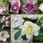 The first Hellebores are flowering
