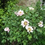 Peony rockii in side garden (Paeonia rockii (Rock's Peony))