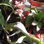 Mid winter Cattleya. (Cattelya)