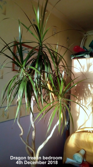 Dragon tree in bedroom 4th December 2018 (Dracaena marginata)