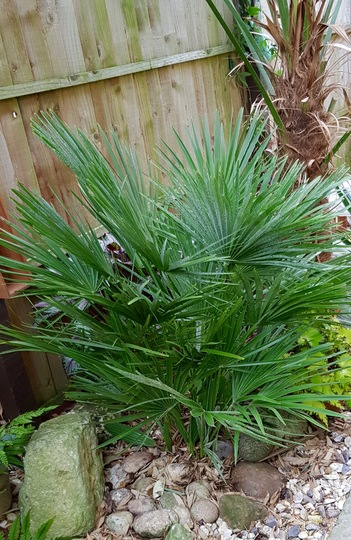 Dwarf Fan Palm.... (Chamaerops humilis (Dwarf Fan Palm))