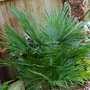 Dwarf Fan Palm.... (Chamaerops humilis (Dwarf Fan Palm))