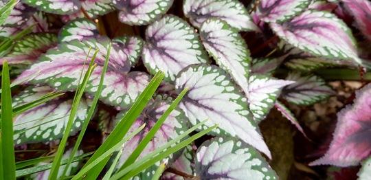 Begonia Rex...... (Begonia rex (King begonia))