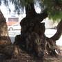 Pepper tree trunk.