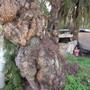Pepper tree trunk. 2 (Schinus molle (American Mastic Tree))