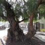 Just a wonder tree of life. 3 (Schinus molle (American Mastic Tree))