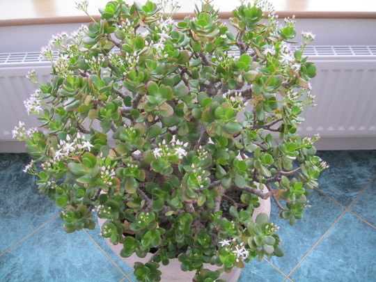 Crassula ..( money plant )