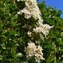 Evergreen clematis in full flower (Clematis x cartmanii)