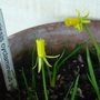 Narcissis_cyclamineus_.1
