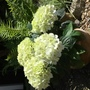 Hydrangea  (Hydrangea macrophylla (Hortensia))