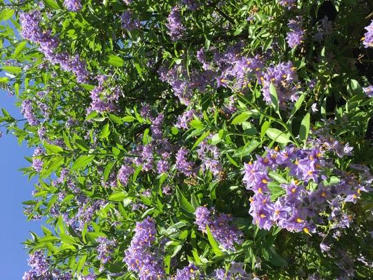 Solanum crispum glasnevin. (Solanum crispum (Chilean potato tree))