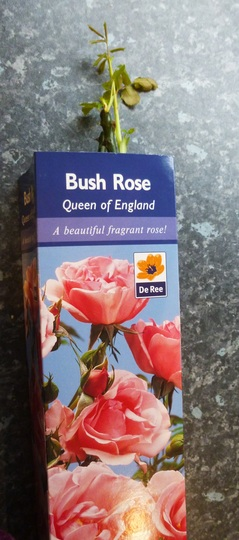 Rosa 'Queen of England'