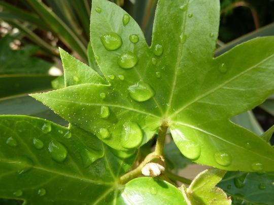 Fatsia (Fatsia japonica (Japanese aralia))
