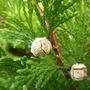 Emerald Green Cedar. (Thuja occidentalis (White cedar))
