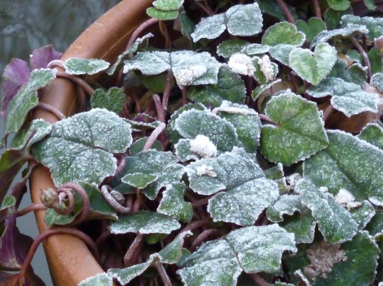 cyclamen leaf frosty