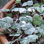 cyclamen leaf frosty
