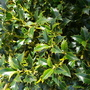 Holly (Ilex aquifolium (Holly))