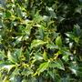 Holly (Ilex aquifolium (Holly))