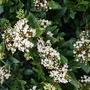 Viburnum  (Viburnum tinus (Laurustinus))