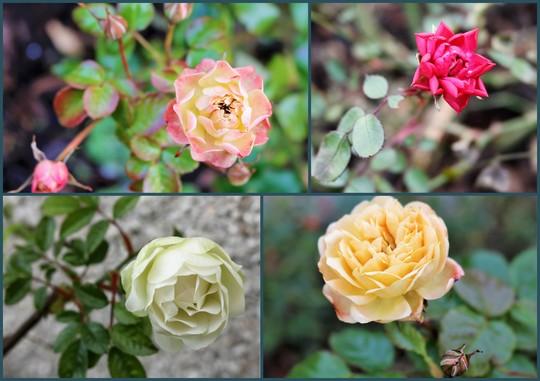 February Roses.