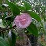 Camellia japonica 'Marguerite Guillon' - 2019 (Camellia japonica 'Marguerite Guillon')