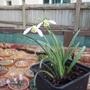 Galanthus 'Lapwing' (Galanthus)