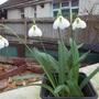 Galanthus 'Diggory' (Galanthus)