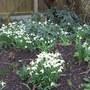 Common Snowdrops (Galanthus nivalis (Common snowdrop))