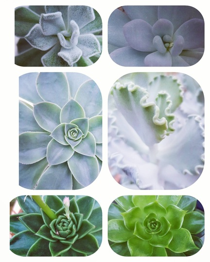 Succulents......A collage.