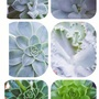 Succulents......A collage.