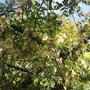 Clematis cirrhosa balearica (Clematis cirrhosa balearica)