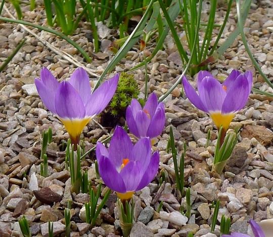 Crocus sieberi ssp sublimis 'Tricolor' - 2019 (Crocus sieberi)