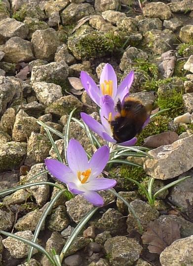 Crocus tommasinianus and bee (Crocus tommasinianus)
