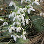 Common Snowdrops (Galanthus nivalis (Common snowdrop))