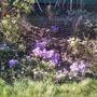 Crocuses_garden