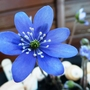 Hepatica_noblis_blue_1
