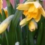 Daffodils are coming out.