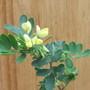 Coronilla Valentina Glauca citrina (For my File) (Coronilla valentina (Coronille))