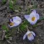 Crocus chrysanthus 'Blue Pearl' - 2019 (Crocus chrysanthus)