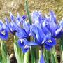 Iris_reticulata_harmony_.1