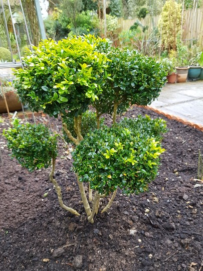 Cloud pruned box..... (Buxus sempervirens (Common box))