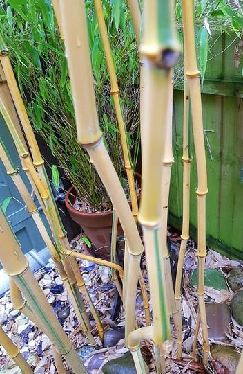 Bamboo Phyllostachys aurea... (Phyllostachys aureosulcata (Yellow-groove bamboo)Spectablis)